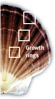 Figure 2. Annual Growth rings of Scallops